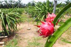 Agricoltura di Dragonfruit Immagine Stock Libera da Diritti
