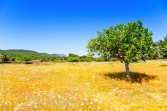 Agricoltura di Ibiza con l'albero ed il frumento di fico Immagini Stock