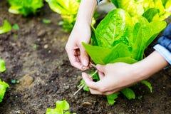 Agricoltura di lattuga Fotografie Stock