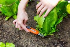 Agricoltura di lattuga nel campo Immagine Stock Libera da Diritti