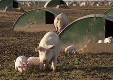 Agricoltura di maiale. Fotografia Stock Libera da Diritti