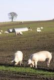 Agricoltura di maiale Fotografie Stock Libere da Diritti