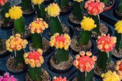 Agricoltura di mini cactus Immagini Stock