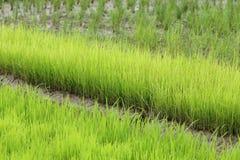 Agricoltura di piccolo germoglio del riso Immagini Stock
