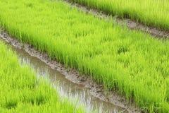 Agricoltura di piccolo germoglio del riso Fotografia Stock Libera da Diritti