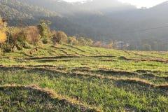 Agricoltura di punto del grano nello stato collinoso Himachal in India Immagine Stock Libera da Diritti