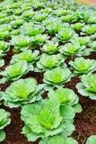 Agricoltura di verde della piantagione del cavolo Fotografia Stock Libera da Diritti