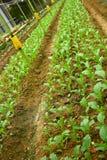 Agricoltura di verdure Fotografia Stock Libera da Diritti