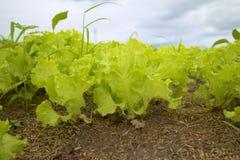 Agricoltura di verdure. Fotografia Stock