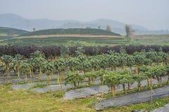 Agricoltura di verdure Fotografia Stock