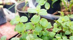 Agricoltura di verdure del campo di verde del pepermint Immagini Stock
