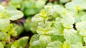 Agricoltura di verdure del campo di verde del pepermint Fotografie Stock