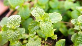 Agricoltura di verdure del campo di verde del pepermint Immagine Stock