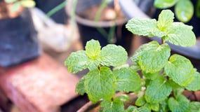 Agricoltura di verdure del campo di verde del pepermint Fotografie Stock Libere da Diritti