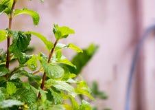 Agricoltura di verdure del campo di verde del pepermint Fotografia Stock Libera da Diritti
