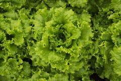 Agricoltura di verdure dell'alimento dell'azienda agricola della piantagione della lattuga organica Immagine Stock Libera da Diritti