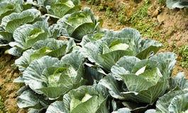 Agricoltura di verdure della piantagione - cavolo Fotografie Stock