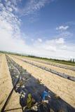 Agricoltura di verdure intensa con il irigation dell'acqua Fotografia Stock Libera da Diritti