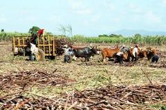 Agricoltura domenicana Immagine Stock Libera da Diritti