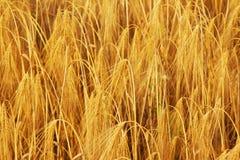 Agricoltura dorata dell'orzo, raccolto, industria Immagini Stock