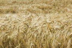 Agricoltura dorata dell'orzo, raccolto, industria Fotografia Stock