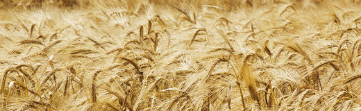 Agricoltura dorata dell'orzo, raccolto, industria Fotografie Stock Libere da Diritti