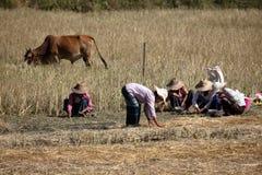 Agricoltura e agricoltori nel Myanmar Fotografia Stock