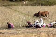 Agricoltura e agricoltori nel Myanmar Immagini Stock Libere da Diritti