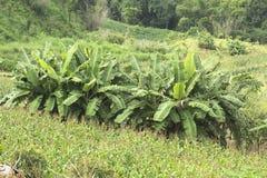 Agricoltura e alimento biologico crescente sulla montagna Fotografie Stock