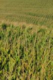 Agricoltura e campo di mais Fotografia Stock