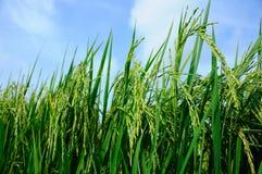 Agricoltura e cielo blu del raccolto del riso Immagine Stock Libera da Diritti