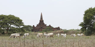Agricoltura e pagoda Fotografia Stock