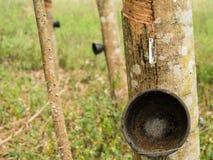 Agricoltura e piantagione di albero di gomma Fotografie Stock