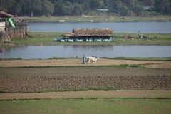 Agricoltura e raccolto del riso nel Myanmar Immagini Stock