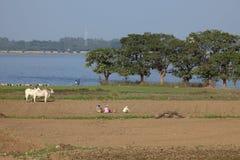 Agricoltura e raccolto del riso nel Myanmar Fotografia Stock Libera da Diritti