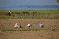 Agricoltura e raccolto del riso nel Myanmar Immagine Stock