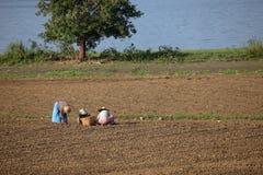 Agricoltura e raccolto del riso nel Myanmar Immagine Stock Libera da Diritti