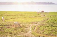Agricoltura e terra coltivata nella regione di Mandalay - del Myanmar Fotografia Stock Libera da Diritti