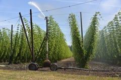 Agricoltura ed agricoltura del luppolo del grano nell'Oregon Immagini Stock