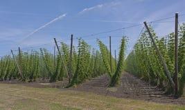 Agricoltura ed agricoltura del luppolo nell'Oregon Fotografia Stock