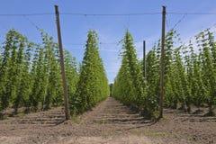 Agricoltura ed agricoltura del luppolo nell'Oregon Fotografie Stock