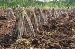 Agricoltura ed agricoltura della piantagione della manioca Immagini Stock