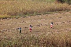 Agricoltura ed il raccolto nel Myanmar Immagini Stock Libere da Diritti