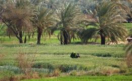 Agricoltura egiziana Fotografia Stock