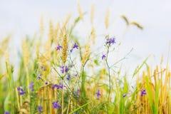 agricoltura Erbacce sveglie selvatiche nel campo sull'azienda agricola, giorno di estate soleggiato, con le orecchie del cereale  Fotografie Stock Libere da Diritti