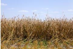 agricoltura estate del raccolto Immagini Stock Libere da Diritti
