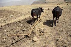 Agricoltura etiopica Immagini Stock