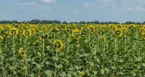 Agricoltura in Europa Orientale Campo dei girasoli di fioritura Immagine Stock Libera da Diritti
