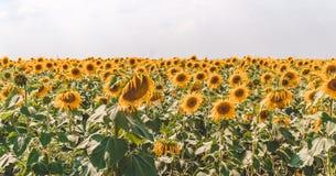 Agricoltura in Europa Orientale Campo di Sunflowers Fotografia Stock Libera da Diritti