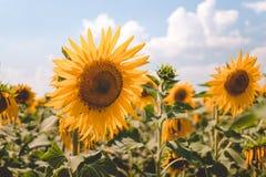 Agricoltura in Europa Orientale Girasoli gialli allegri di fioritura e cielo blu luminoso Fotografia Stock